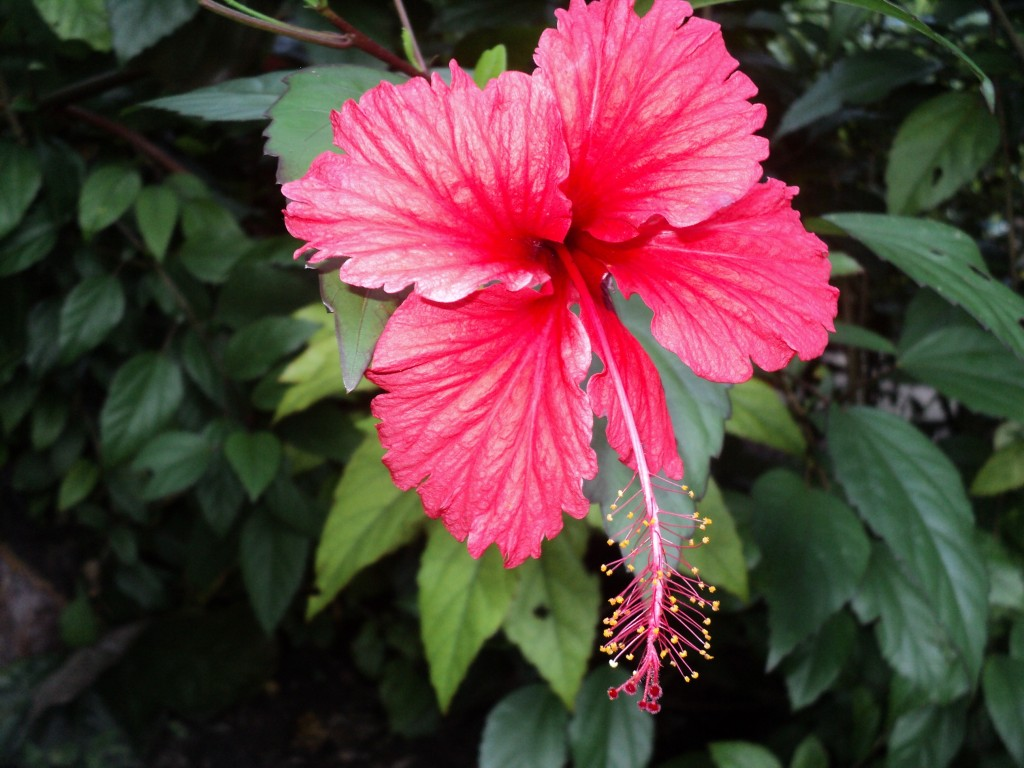 Hibiscus tea benefits have been known to eastern countries for hibiscus izmirmasajfo
